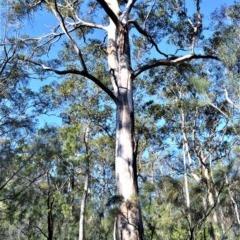 Eucalyptus punctata (Grey Gum) at Wogamia Nature Reserve - 21 Jul 2020 by plants