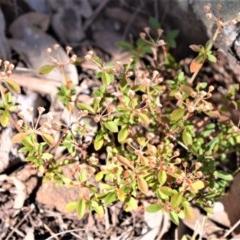 Pomax umbellata (Pomax) at Wogamia Nature Reserve - 21 Jul 2020 by plants