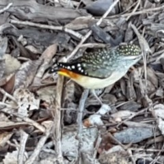 Pardalotus punctatus (Spotted Pardalote) at City Renewal Authority Area - 21 Jul 2020 by tpreston