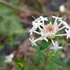 Pimelea linifolia subsp. linifolia (Rice-flower) at Ulladulla Wildflower Reserve - 12 Jul 2020 by tpreston