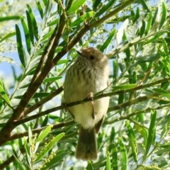 Acanthiza pusilla (Brown Thornbill) at Undefined, NSW - 14 Jul 2020 by Gee