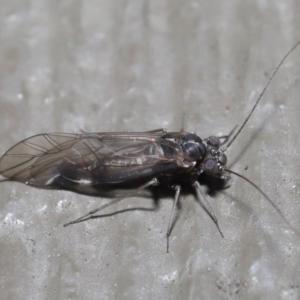 Psocodea 'Psocoptera' sp. (order) at ANBG - 21 Jul 2020