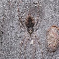 Tamopsis sp. (genus) at ANBG - 21 Jul 2020