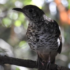 Zoothera lunulata (Bassian Thrush) at ANBG - 22 Jul 2020 by HelenCross