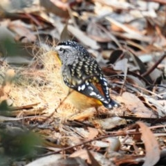 Pardalotus punctatus (Spotted Pardalote) at ANBG - 22 Jul 2020 by HelenCross