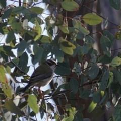 Melithreptus brevirostris (Brown-headed Honeyeater) at Mount Ainslie - 21 Jul 2020 by MargD