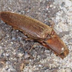 Elateridae (family) (Click Beetles) at Morton National Park - 22 Jul 2020 by Harrisi
