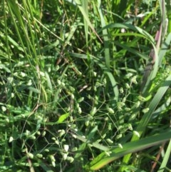 Briza minor (Lesser Quaking Grass) at EDM Private Property - 21 Jul 2020 by Evelynm