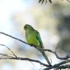 Unidentified Parrot (TBC) at Red Hill Nature Reserve - 22 Jul 2020 by Ct1000