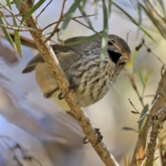 Acanthiza pusilla (Brown Thornbill) at Molonglo Valley, ACT - 22 Jul 2020 by RodDeb