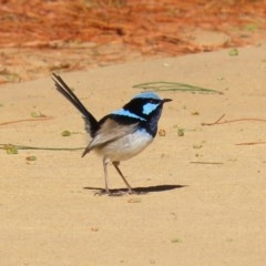 Malurus cyaneus (Superb Fairywren) at National Zoo and Aquarium - 22 Jul 2020 by RodDeb