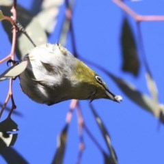 Zosterops lateralis (Silvereye) at Higgins, ACT - 23 Jul 2020 by Alison Milton