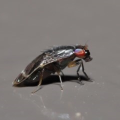 Depressa sp. (genus) (Lauxaniid fly) at ANBG - 21 Jul 2020 by TimL