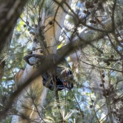 Calyptorhynchus lathami (Glossy Black-Cockatoo) at Penrose - 23 Jul 2020 by Aussiegall