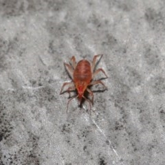 Bdellidae sp. (family) (Unidentified Snout Mite) at ANBG - 19 Jul 2020 by TimL