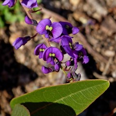 Hardenbergia violacea (Purple coral pea, Native sarsaparilla) at Brogo, NSW - 23 Jul 2020 by MaxCampbell