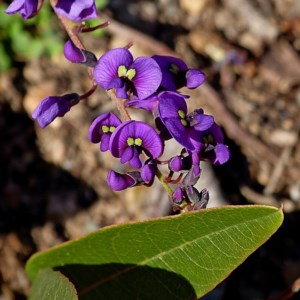 Hardenbergia violacea at Brogo, NSW - 24 Jul 2020