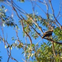 Haliastur sphenurus (Whistling Kite) at Batemans Marine Park - 22 Jul 2020 by Gee