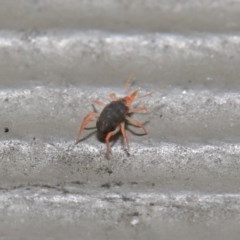 Bdellidae sp. (family) (Unidentified Snout Mite) at ANBG - 21 Jul 2020 by TimL