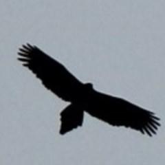 Aquila audax (Wedge-tailed Eagle) at Deua National Park - 23 Jul 2020 by nickhopkins