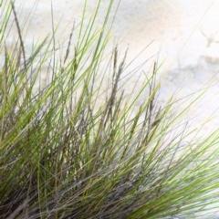 Sporobolus virginicus var. virginicus (Sand Couch) at Wairo Beach and Dolphin Point - 11 Jul 2020 by Nicholas de Jong