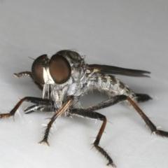 Cerdistus sp. (genus) at Ainslie, ACT - 3 Dec 2019