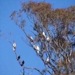 Cacatua galerita (Sulphur-crested Cockatoo) at Urambi Hills - 24 Jul 2020 by Mike