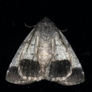 Dysbatus undescribed species at Ainslie, ACT - 3 Dec 2019