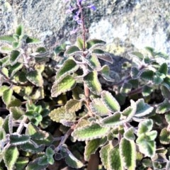 Plectranthus graveolens at Wogamia Nature Reserve - 24 Jul 2020 by plants