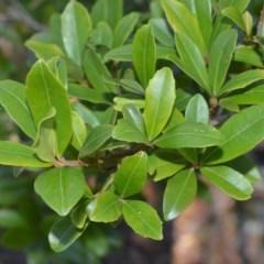 Myrsine variabilis (Muttonwood) at Wogamia Nature Reserve - 24 Jul 2020 by plants