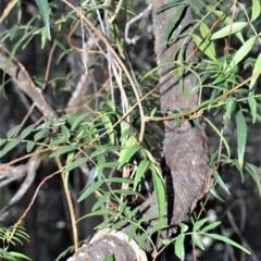 Pandorea pandorana (Wonga Vine) at Wogamia Nature Reserve - 24 Jul 2020 by plants