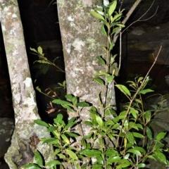 Ceratopetalum apetalum (Coachwood) at Wogamia Nature Reserve - 24 Jul 2020 by plants