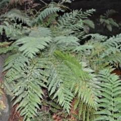 Todea barbara (King Fern) at Wogamia Nature Reserve - 24 Jul 2020 by plants