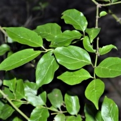 Gynochthodes jasminoides (Sweet Morinda) at Wogamia Nature Reserve - 24 Jul 2020 by plants