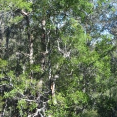 Backhousia myrtifolia (Grey Myrtle) at Wogamia Nature Reserve - 24 Jul 2020 by plants