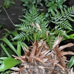 Platycerium bifurcatum (Elkhorn) at Wogamia Nature Reserve - 24 Jul 2020 by plants