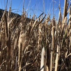 Typha sp. (Cumbungi) at Lake Burley Griffin West - 24 Jul 2020 by ruthkerruish