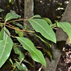 Endiandra sieberi (Hard Corkwood, Pink Walnut) at Wogamia Nature Reserve - 24 Jul 2020 by plants
