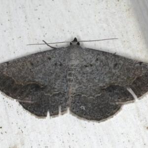 Taxeotis intextata at Ainslie, ACT - 3 Dec 2019