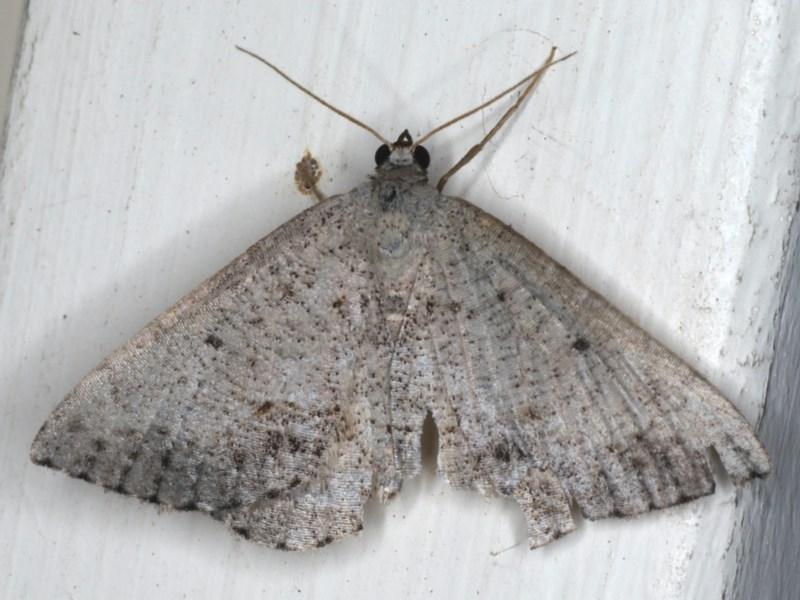 Taxeotis (genus) at Ainslie, ACT - 3 Dec 2019