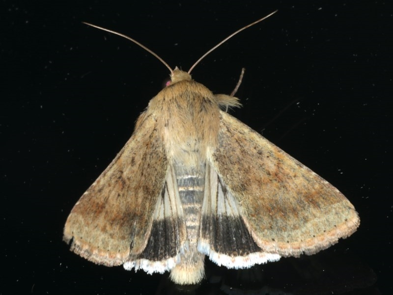 Helicoverpa punctigera at Ainslie, ACT - 3 Dec 2019