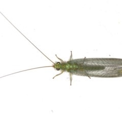 Mallada signata (A Green Lacewing) at Ainslie, ACT - 4 Dec 2019 by jbromilow50