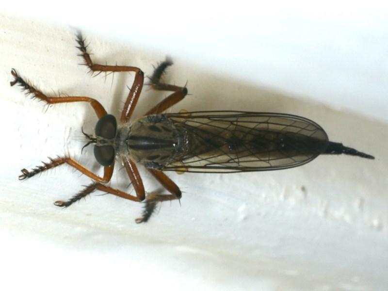 Cerdistus sp. (genus) at Ainslie, ACT - 5 Dec 2019