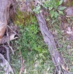 Asparagus asparagoides (Bridal Creeper, Florist's Smilax) at Mount Ainslie - 24 Jul 2020 by SilkeSma