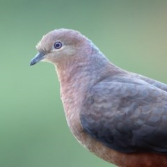 Macropygia (Macropygia) amboinensis (Brown Cuckoo-dove) at Merimbula, NSW - 25 Jul 2020 by Leo