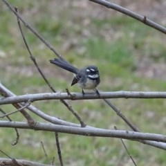 Rhipidura albiscapa (Grey Fantail) at Lake Burley Griffin West - 25 Jul 2020 by Mike
