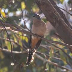 Cacomantis flabelliformis (Fan-tailed Cuckoo) at Cooleman Ridge - 22 Jul 2020 by JohnHurrell