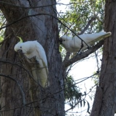 Cacatua galerita (Sulphur-crested Cockatoo) at Merimbula, NSW - 24 Jul 2020 by LizAllen