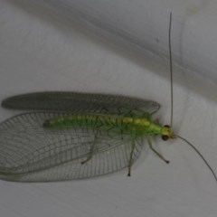 Nothancyla verreauxi (A Green Lacewing (with wide wings)) at Ainslie, ACT - 5 Dec 2019 by jbromilow50