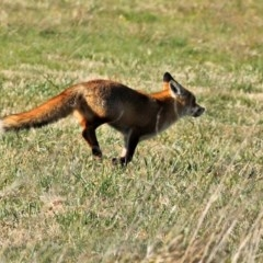 Vulpes vulpes (Red Fox) at Jerrabomberra Wetlands - 24 Jul 2020 by RodDeb